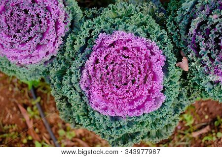 Water Droplet On Decorative Flowering Cabbage Kale. Garden Decorate With Vegetable
