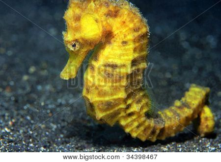 Yellow Common Seahorse