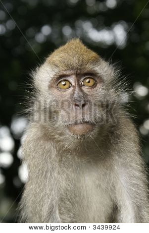 Long tailed macaque portrait with curious expression. poster