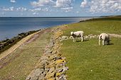 Ameland meadow with sea sheep and blue sky poster