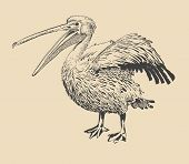 original ink drawing of pelican with open beak (Pelecanus onocrotalus). I am author of this illustration poster