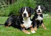 Greater Swiss Mountain Dog adult and puppy. Outdoor portrait. poster