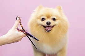 Dog Gets Hair Cut At Pet Spa Grooming Salon. Closeup Of Dog. The Dog Is Trimmed With Scissors. Pink