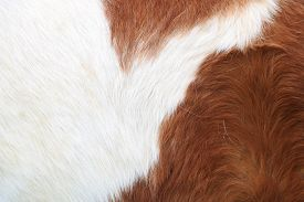 Chestnut And White Pony Feather, Close Up.