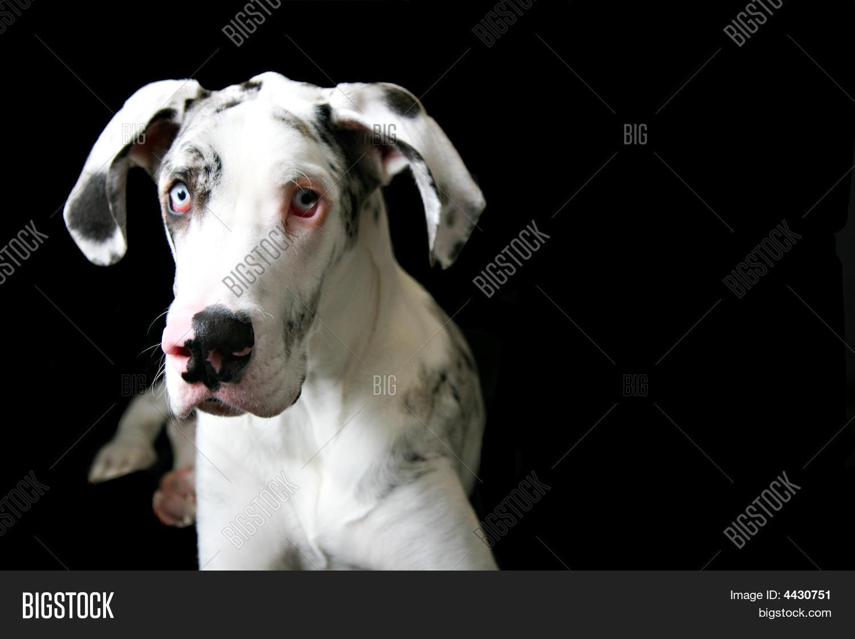 Harlequin Great Dane Image Photo Free Trial Bigstock