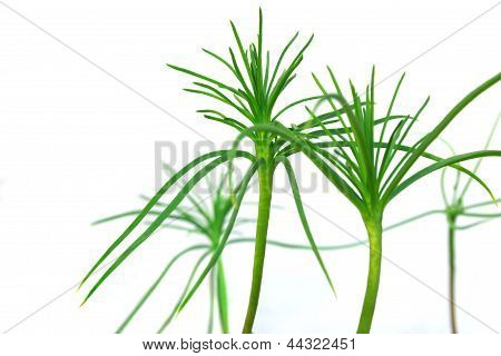 Sprouts Conifers