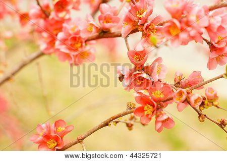Peach Blooming