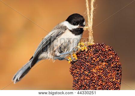 Pecking Chickadee