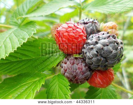 Black Raspberry (Rubus occidentalis)