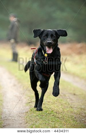 Big Black Labrador Running