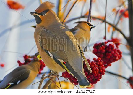 Any young birds Waxwings (Bombycilla garrulus) on a Rowan branch.