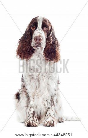 springer spaniel dog portrait in the studio poster