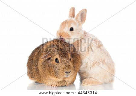 baby rabbit and a guinea pig
