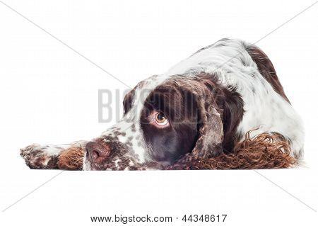 springer spaniel breed dog isolated on white poster