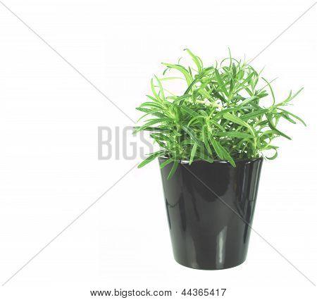 Newly Transplanted Rosemary herb