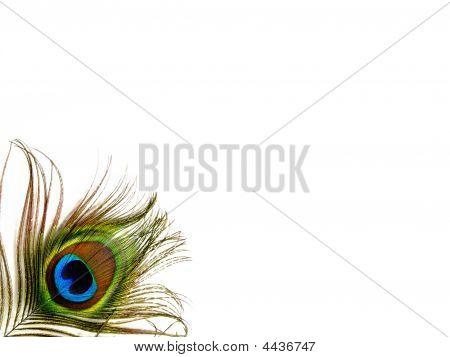 Pluma de pavo real solo inferior izquierda