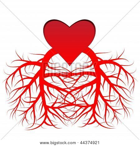 The heart and the veins