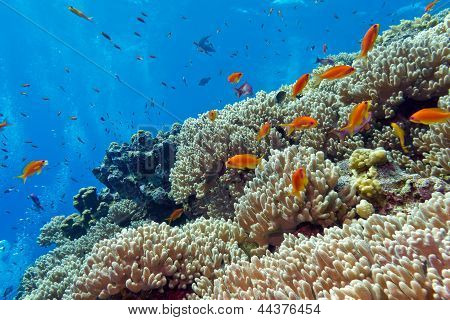 colorful coral reef with hard corals and exotic fishes at the bottom of red sea in egypt poster