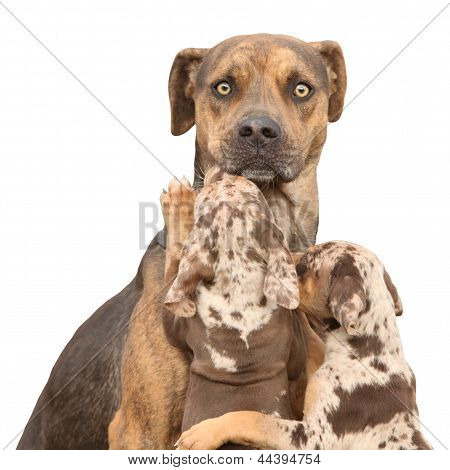 Isolated Louisiana Catahoula Dog Which Is Scared Of Parenting