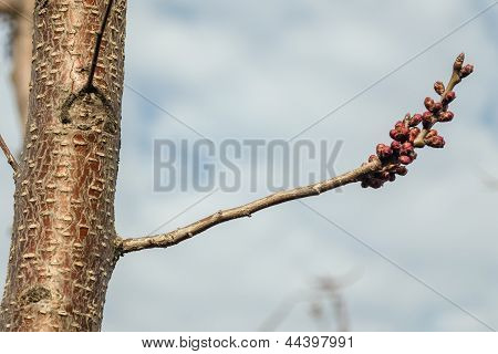 Young Branch Of An Apricot.
