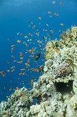 Corals and fish on a lively reef in the Red Sea Egypt poster