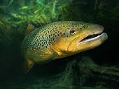 Underwater photo of The Brown Trout (Salmo Trutta) in a alpine lake. Close up with shallow DOF. poster