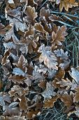 Frozen brown autumn leaves covered with ice and snow poster