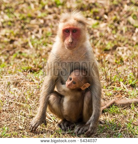 Bonnet macaque mother with baby in Bandipur National Park India. poster