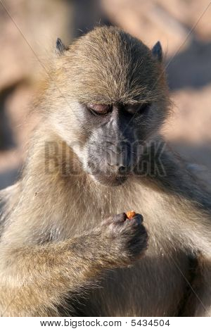 Baboon Looking At Berry