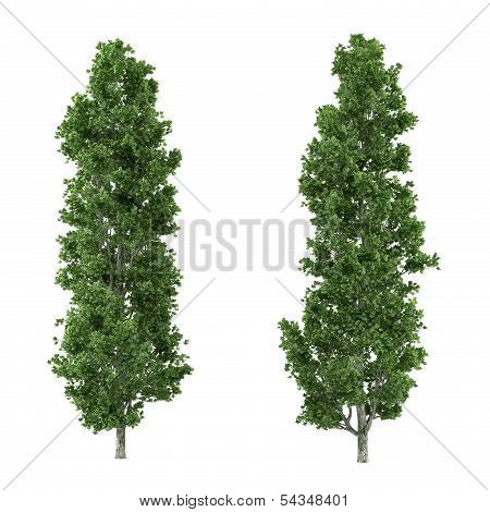 Tree isolated. Populus