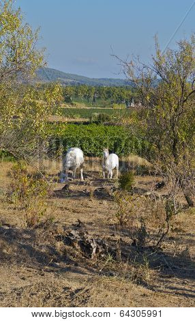 Two wild white horses feeding in the bushes in southern France poster