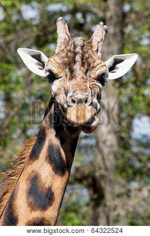 One Rothschild's Giraffe (giraffa Camelopardalis Rothschildi)