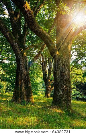 Forest Glade In  Shade Of The Trees In Sun Rays