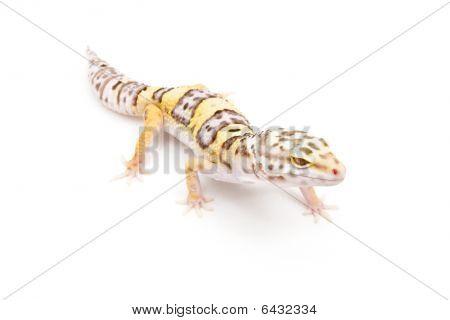 Bell Albino Leopard Gecko