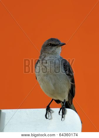 Northern Mockingbird in front of Orange Wall
