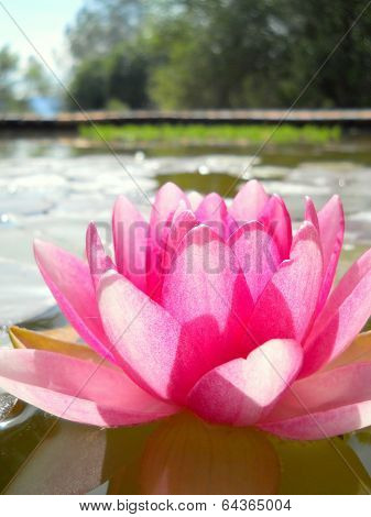Side View Pink Water Lily