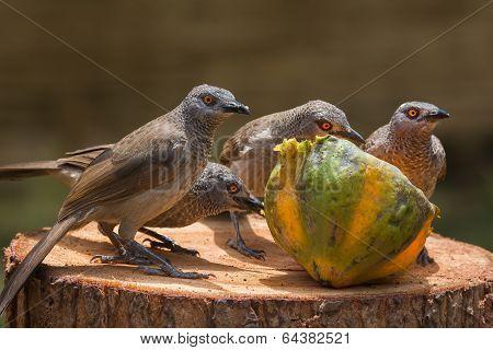Brown Babbler Family Investigating A Papaya