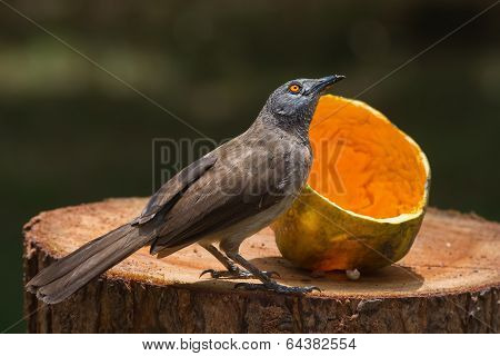 Brown Babbler Looking Up From Eating Papaya