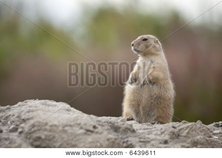 Standing groundhog on the watch on a rock