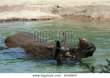 Rhino outside swimming in pool of water
