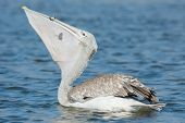 A Pink-backed Pelican (Pelecanus rufescens) swallowing and a lucky little fish poster