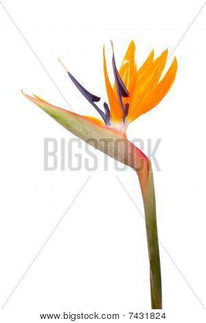 Crane or Bird of Paradise Flower ( Strelitzia reginae ) isolated on white background poster