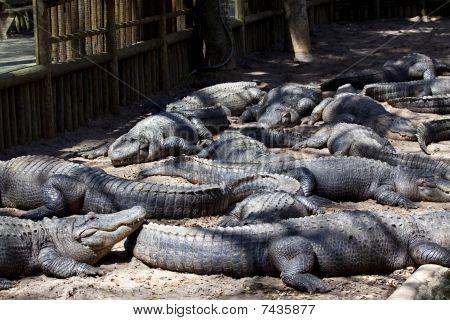 Alligators Resting in Alligator Pit