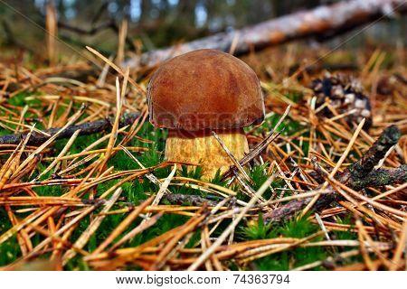 Mushroom Xerocomus Badius