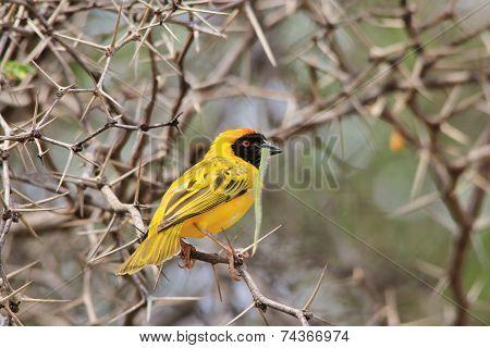 Southern Masked Weaver - Wild Bird Background - Sharp Beauty