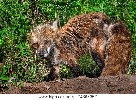 Red Fox Vixen (vulpes Vulpes) Looks Up From Digging At Den Site