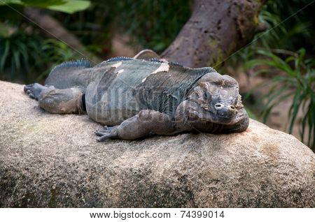 Iguana (Amblyrhynchus cristatus) resting on rocks