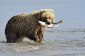 Grizzly Bear with caught salmon in mouth poster