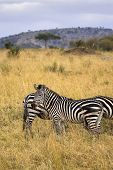 Several zebras standing in African field with tall grass. poster