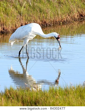 Whooping Crane Eating a Crab with Reflection